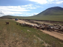for days we drove and saw more animals than humans. Animal traffic crossings are like cross walks in Mongolia.