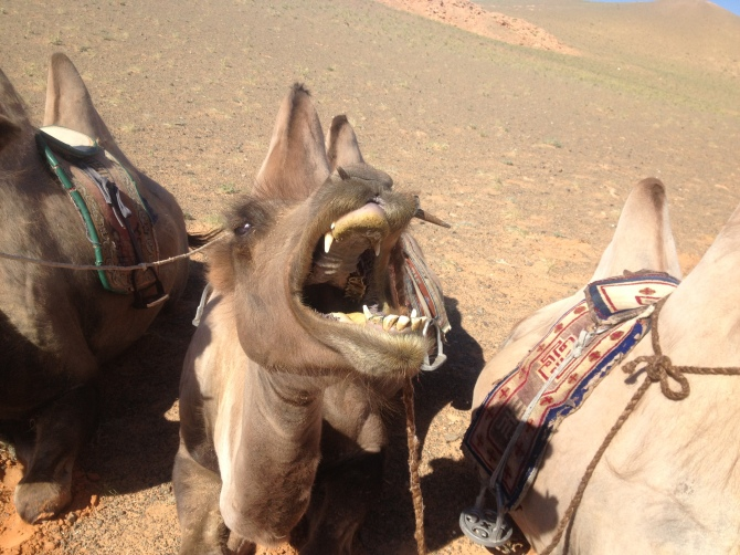 Angry Camel