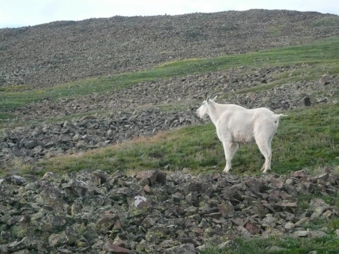 evil mountain goat